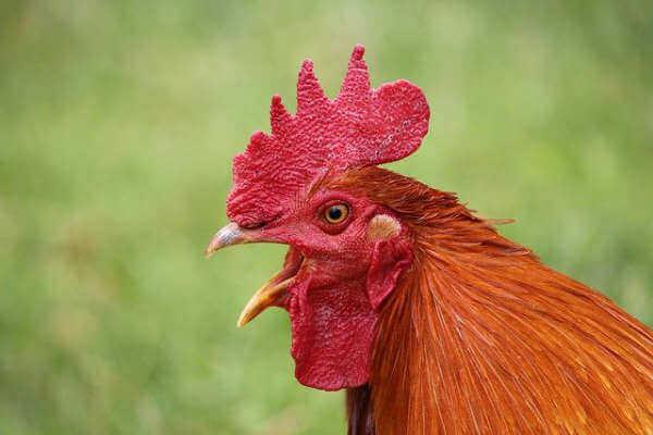 Ein Huhn